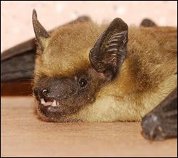 bat control Benbrook