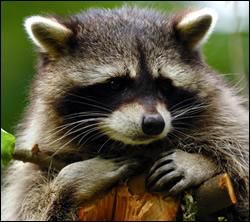 raccoon control Benbrook