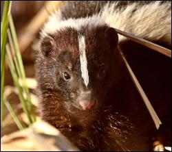 skunk control Benbrook