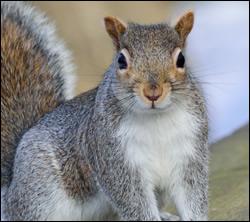 squirrel control Benbrook